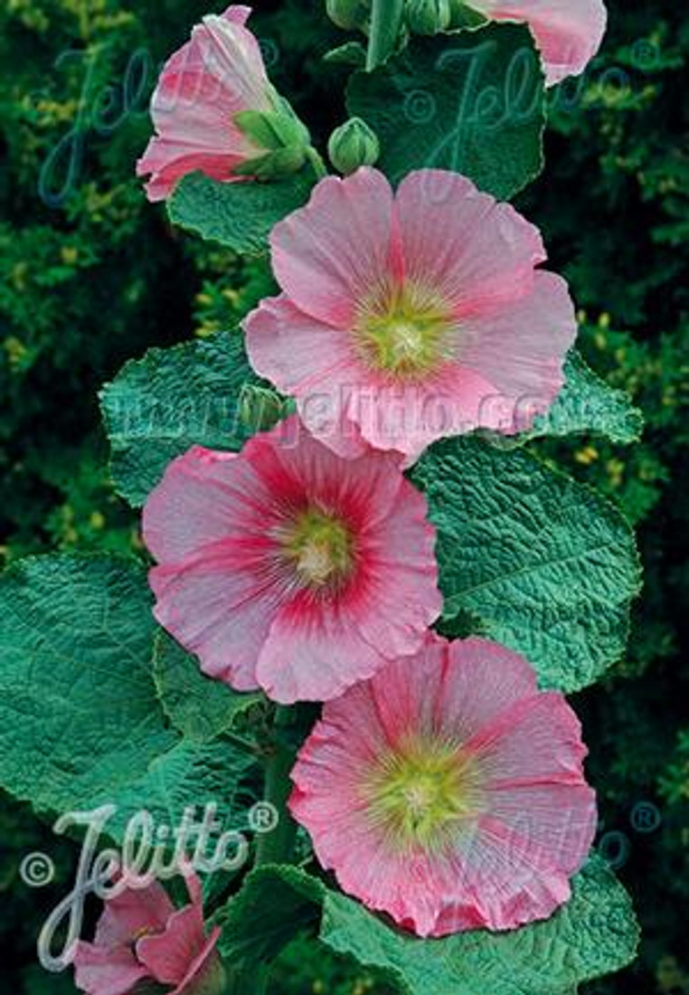 Alcea rosea 'Spotlight Radiant Rose'