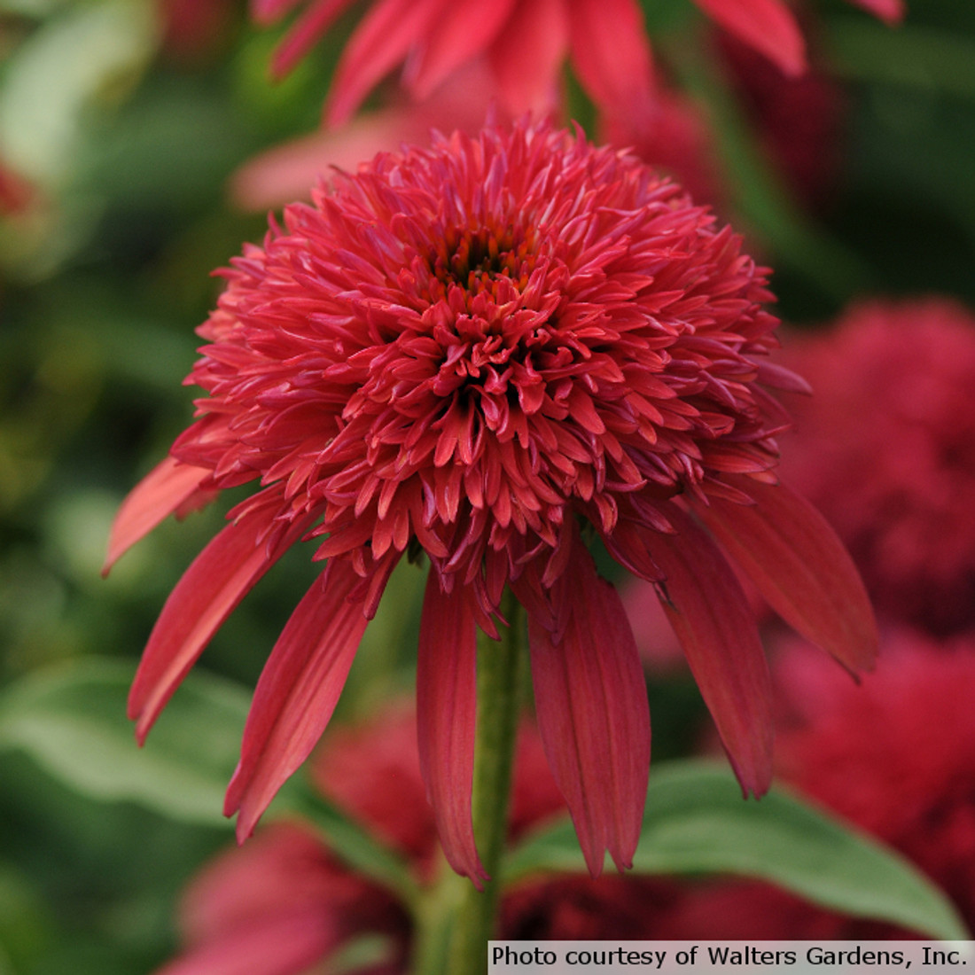 Echinacea Double Scoop 'Cranberry'
