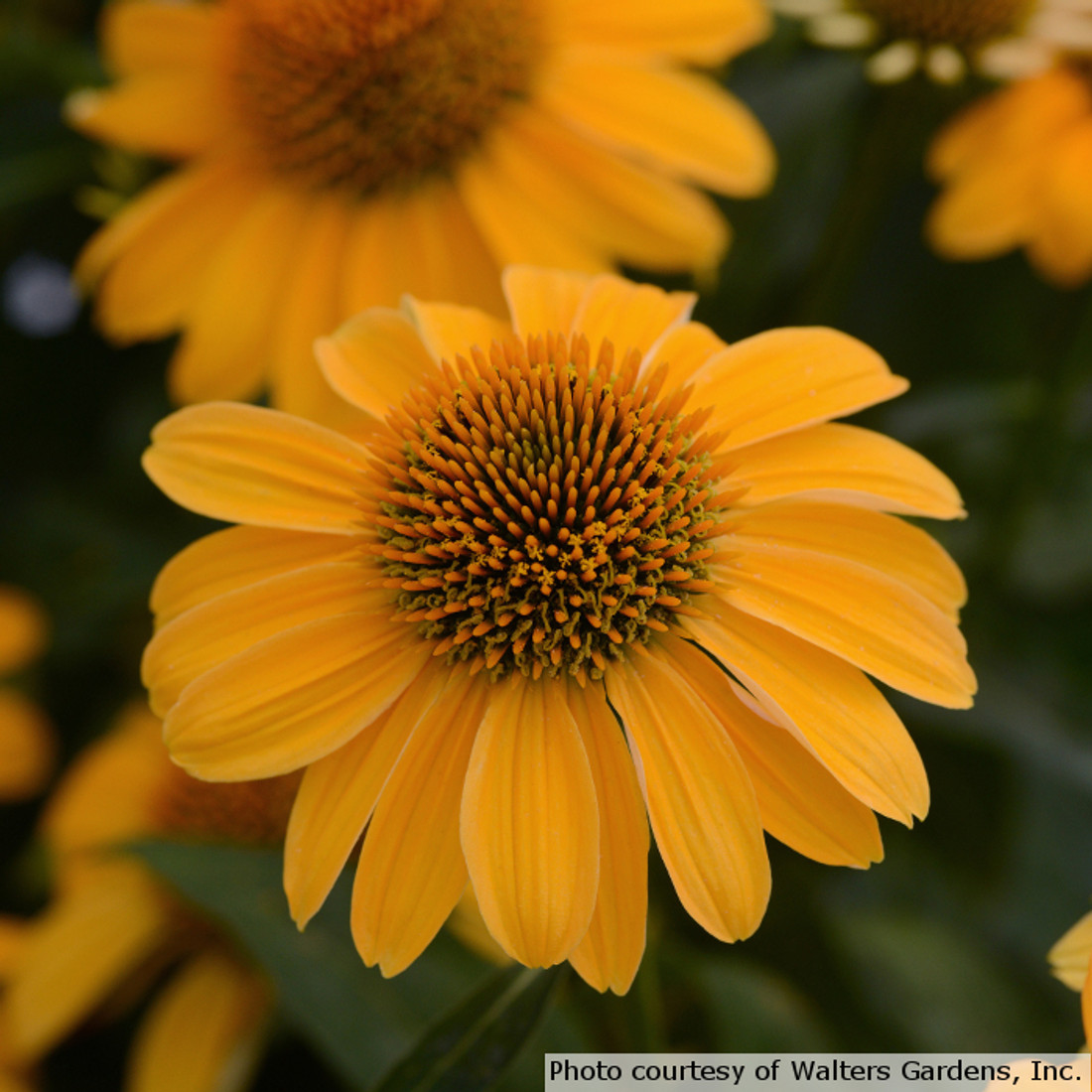 Echinacea Sombrero 'Granada Gold'