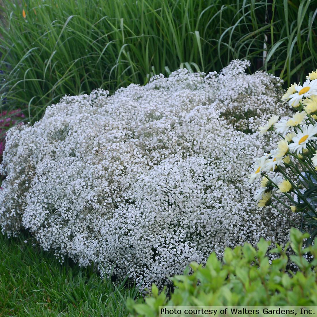 Gypsophila 'Summer Sparkles'