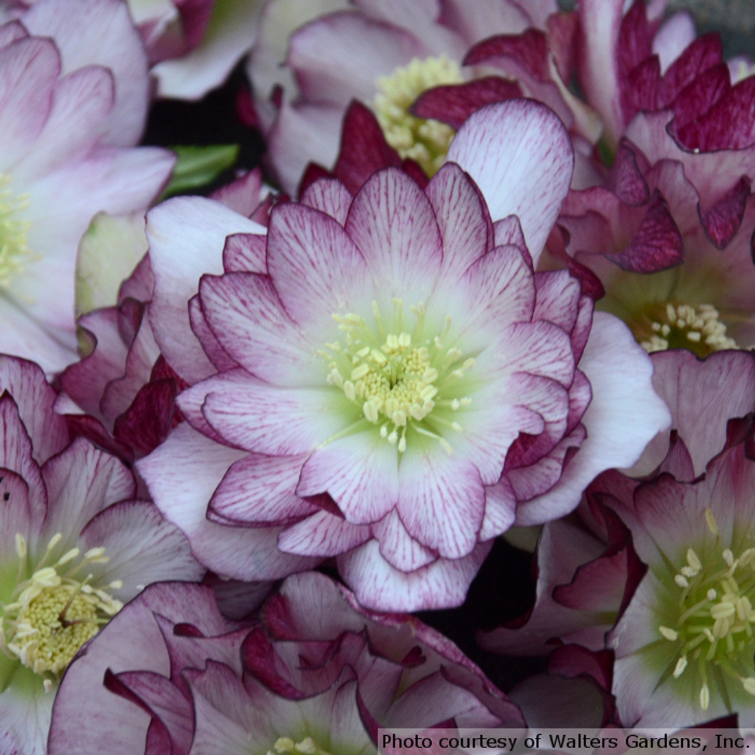 Helleborus Wedding Party® 'Blushing Bridesmaid'