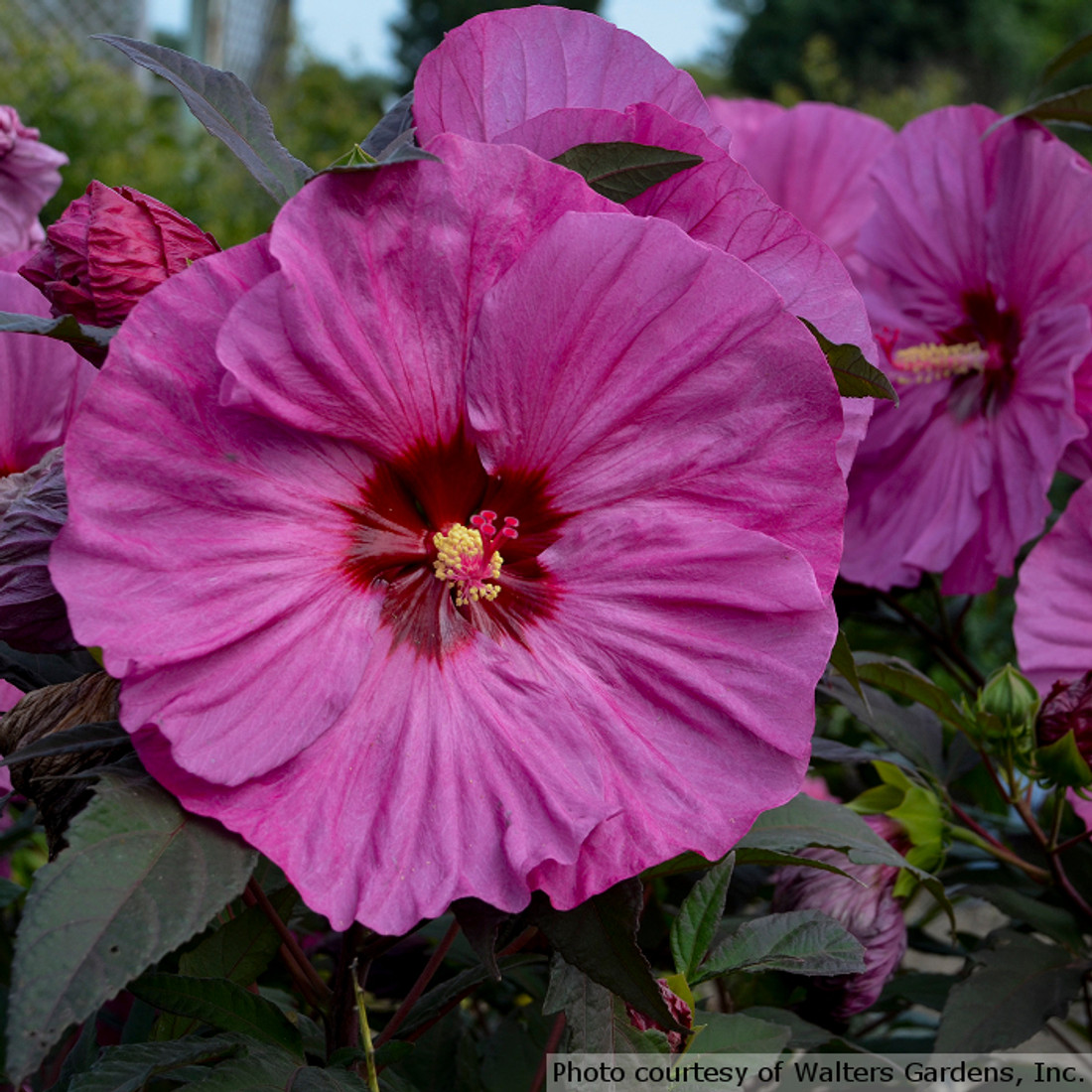 Hibiscus Summerific ® 'Berry Awesome'