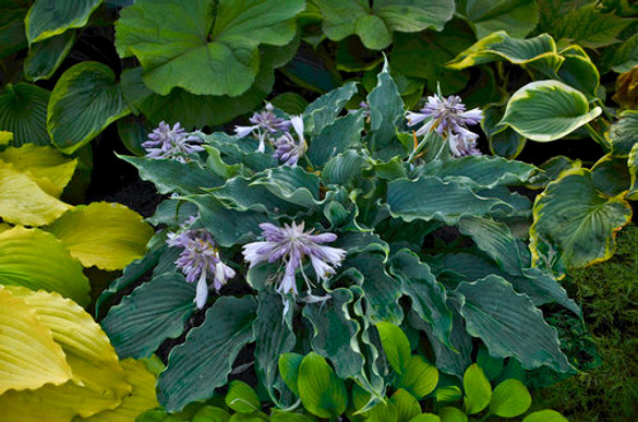 Hosta SHADOWLAND 'Waterslide'