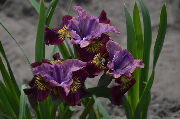 Iris sibirica Peacock Butterfly™ 'Miss Apple'