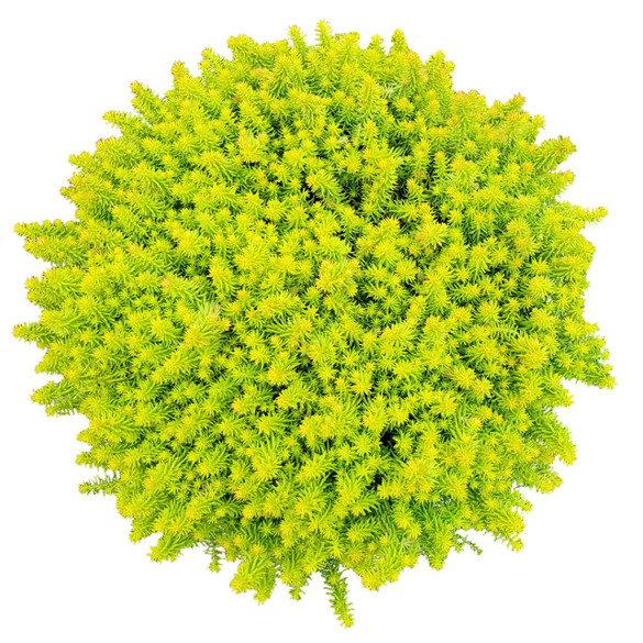 Sedum rupestre SunSparkler® 'Angelina's Teacup'