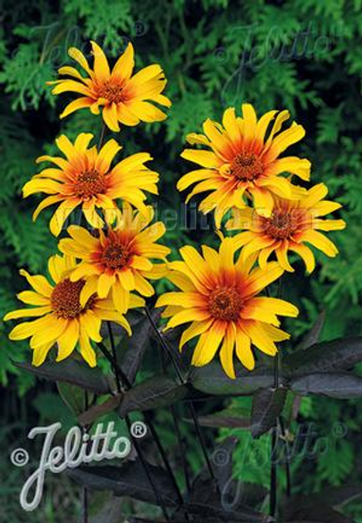Heliopsis helianthoides var. scabra 'Burning Hearts'
