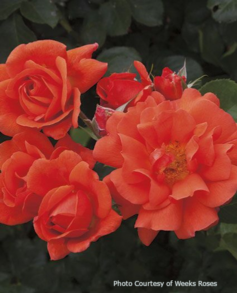 Rosa  'Above All™'