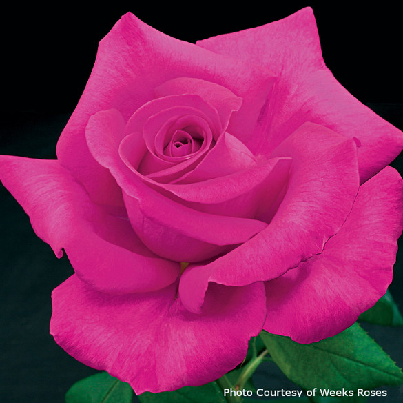 Rosa  'All My Loving'