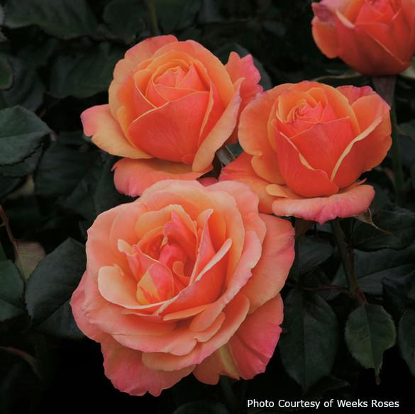 Rosa  'Anna's Promise®'