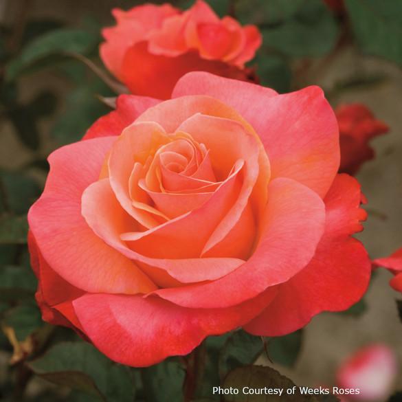 Rosa  'Colorific™'