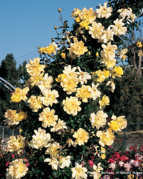 Rosa  'Golden Showers®'