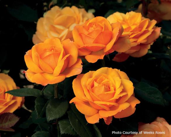 Rosa  'Good as Gold™'