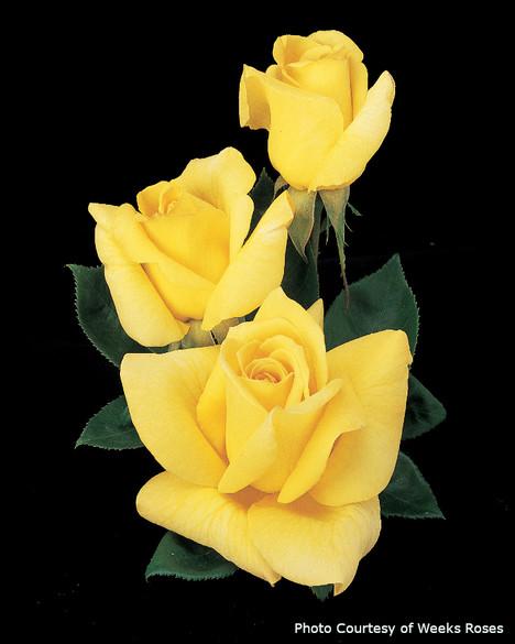Rosa  'Oregold'