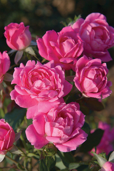 Rosa  'Pink Double Knock Out®'