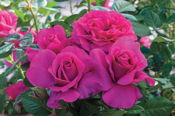 Rosa  'Pretty Lady Rose™'