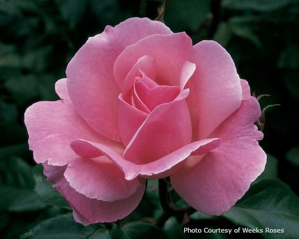 Rosa  'Queen Elizabeth®'