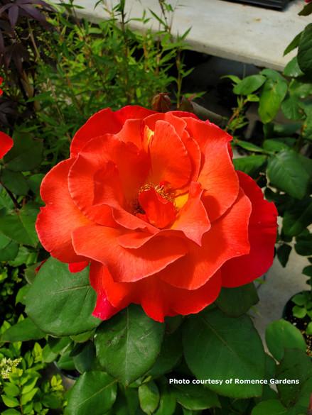Rosa  'Sedona®'