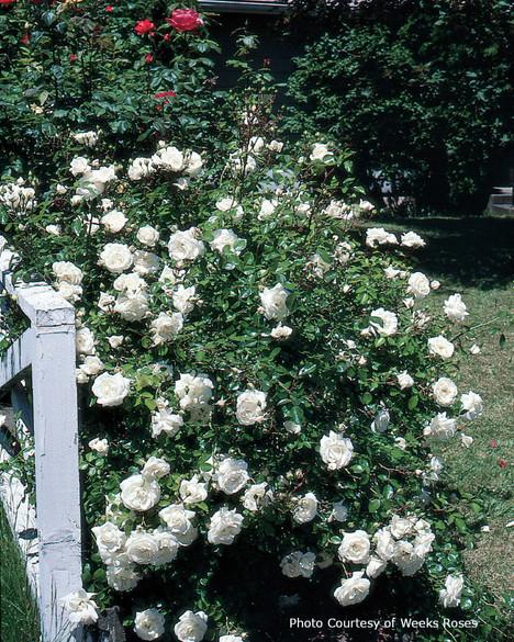 Rosa  'White Dawn'