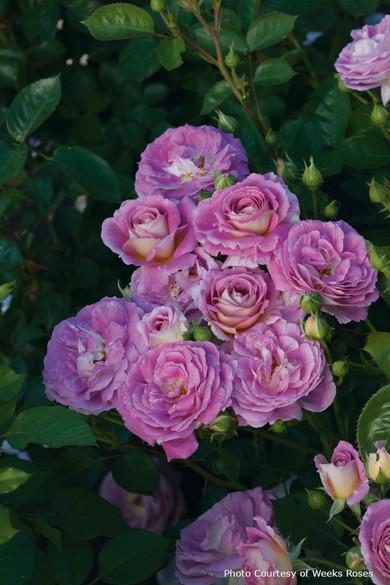 Rosa 'Arctic Blue™'