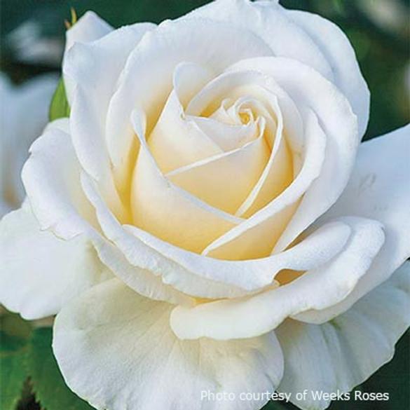 Rosa 'Easy Spirit™'