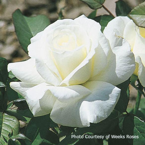 Rosa 'Honor™'
