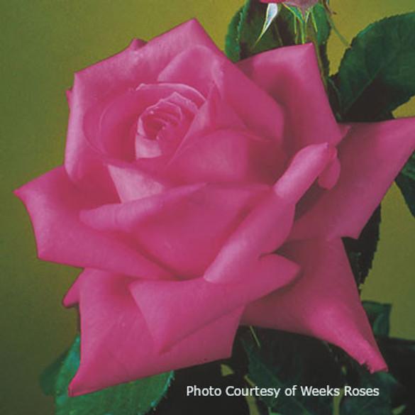 Rosa 'Miss All-American Beauty'