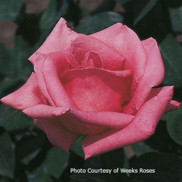 Rosa 'Pink Peace'