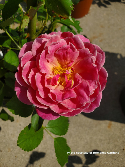 Rosa 'Queen of Elegance™'