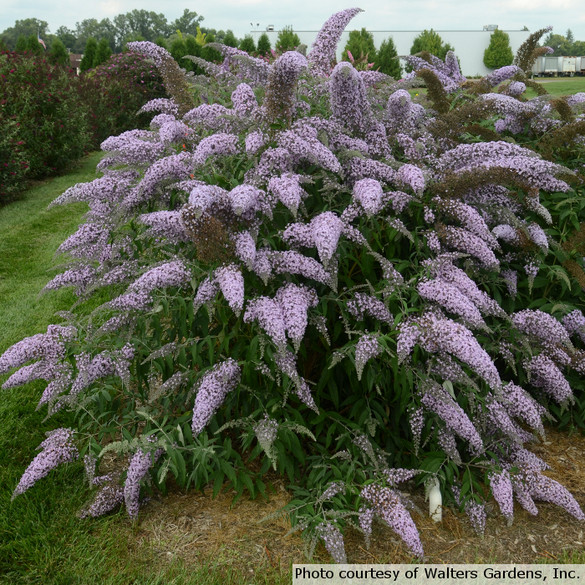 Buddleia 'Grand Cascade'