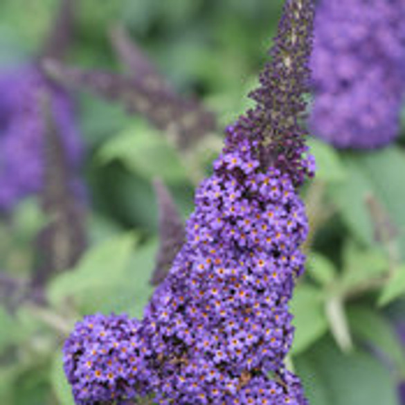 Buddleia 'Pugster® Blue' bloom