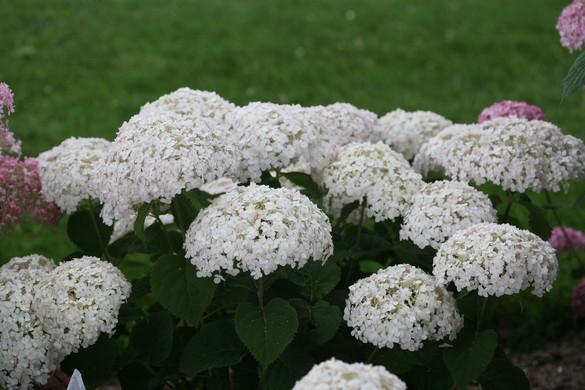 Hydrangea aborescens 'Invincibelle Wee White®'
