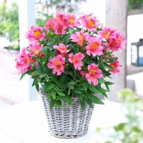 Alstroemeria Princess Lilies® 'Eliane'