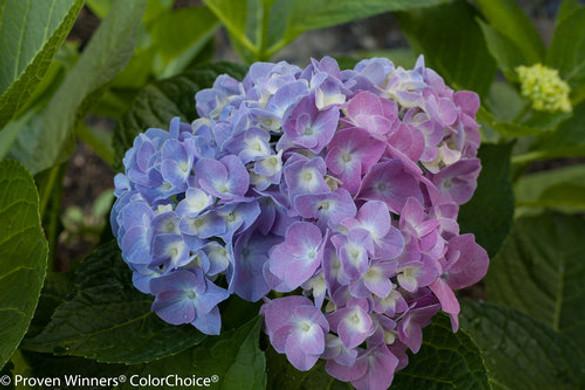Hydrangea macrophylla 'Let's Dance® Blue Jangles®'