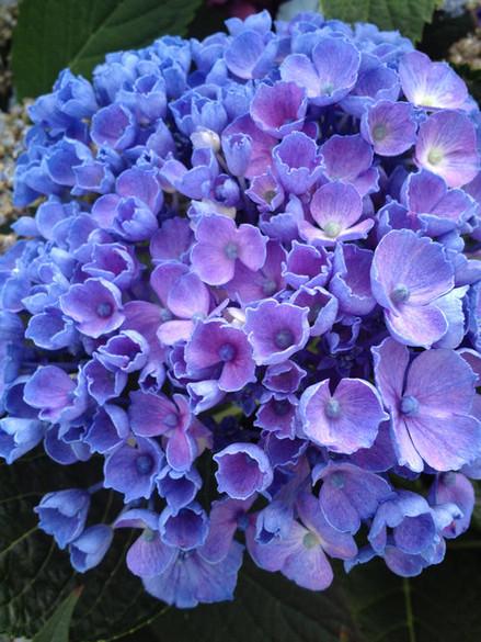 Hydrangea macrophylla 'Let's Dance® Rhythmic Blues®'