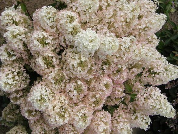 Hydrangea paniculata 'Bobo®'