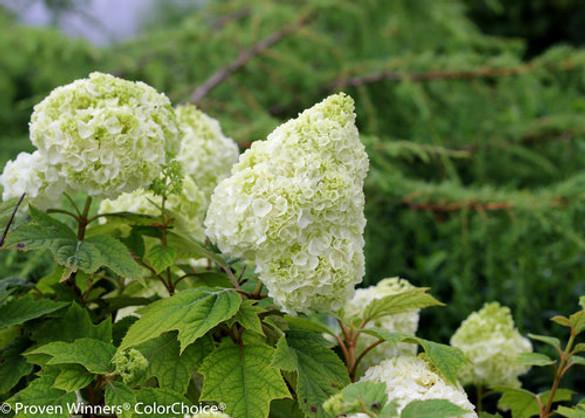Hydrangea quercifolia 'Gatsby Moon®'