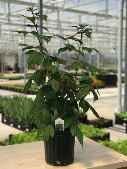 Rubus idaeus var. strigosus 'Heritage'