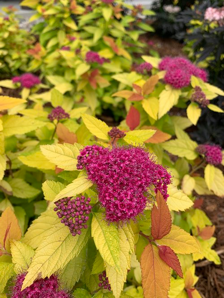 Spirea 'Double Play® Candy Corn®'