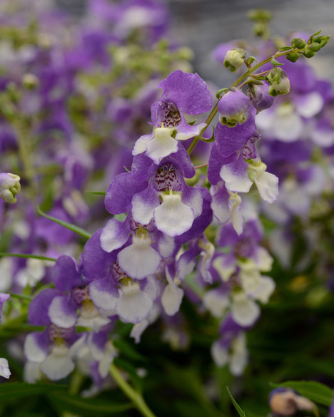 Angelonia angustifolia 'Angelmist® Spreading  Bluebird' bloom