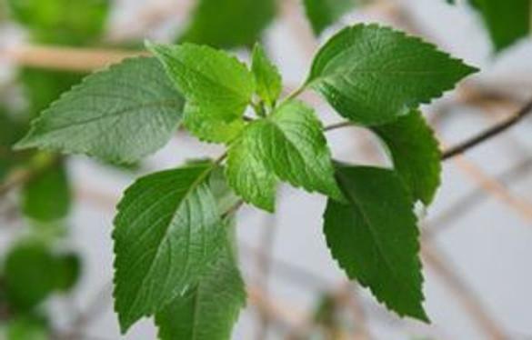 Basil 'Lime'