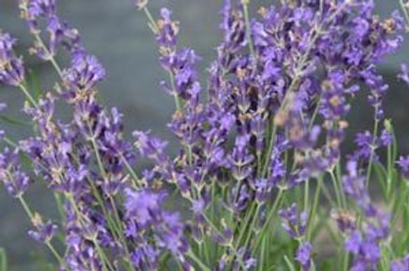Lavender - Munstead (Herb)