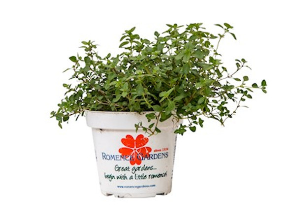 Thyme - Mother of Thyme