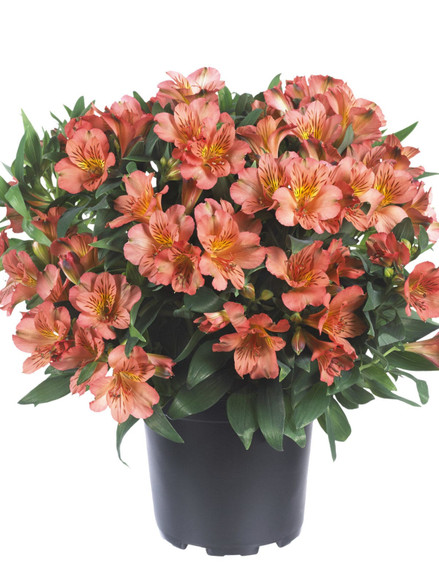 Alstroemeria Princess Lilies® 'Eliane Orange'