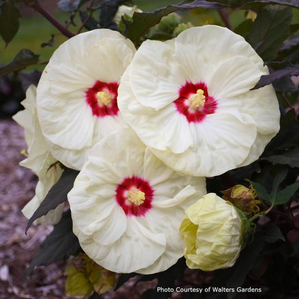 Hibiscus SUMMERIFIC® 'French Vanilla' main