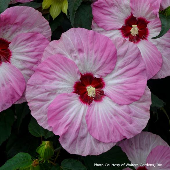 Hibiscus SUMMERIFIC® 'Spinderella' main