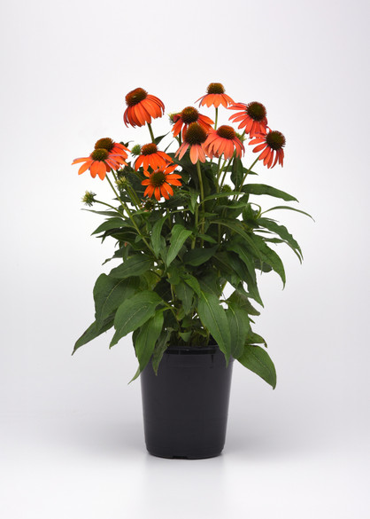 Echinacea hybrida Artisan™ 'Soft Orange'