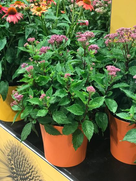 Eupatorium purpureum 'Euphoria™ Ruby'