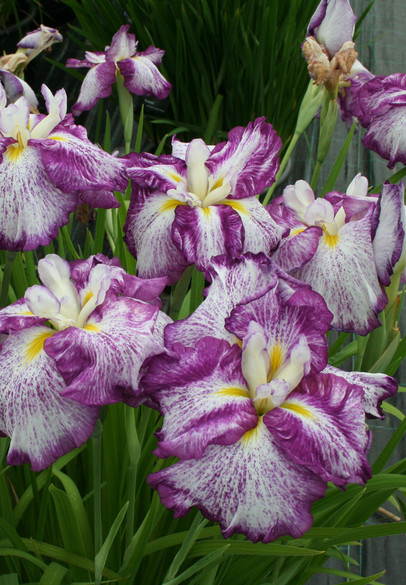 Iris ensata Dinner Plate™ 'Harlequinesque' main