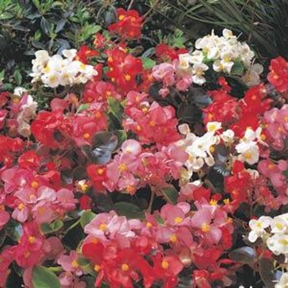 Begonia semperflorens 'MaestroMixed' blooms