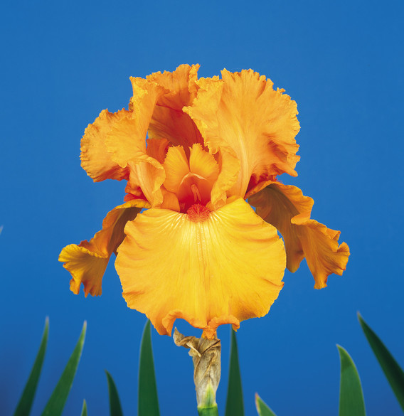 Iris germanica 'Savannah Sunset'